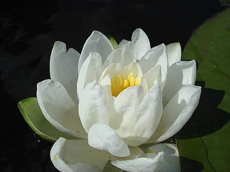 Lily Pond by Christie Minalga