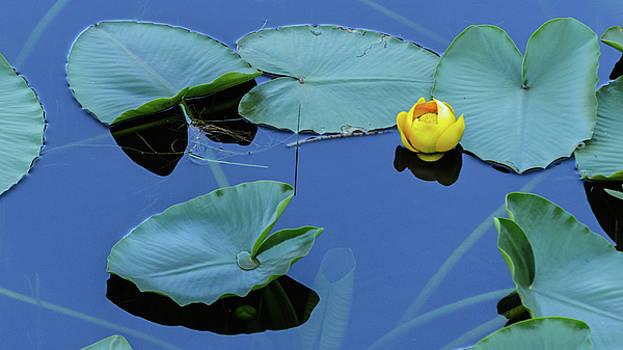 Lily Pond by Emily Bristor