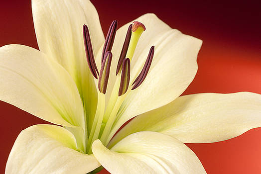 Lily by Richard Hayman