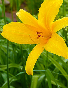 Lily by Susan Porter