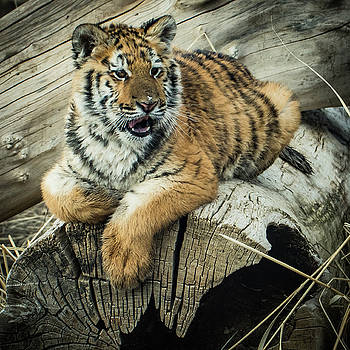 Lily Tiger 4534 by Janis Knight