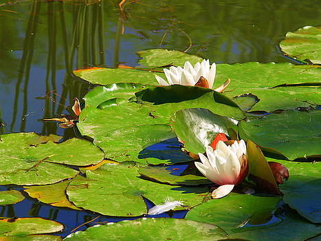 Lilypad Flowers 2 by Carrie Putz