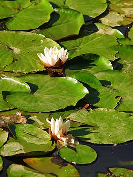 Lilypad Flowers by Carrie Putz