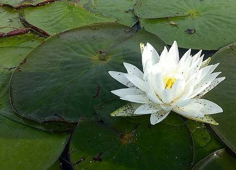 Lilypads and Flower by Chris Alberding