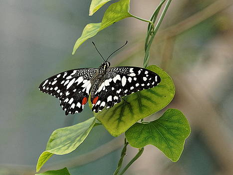 Paul Gulliver - Lime/chequered swallowtail Butterfly
