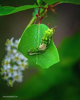 Limenitis arthemis larvae by LeeAnn McLaneGoetz McLaneGoetzStudioLLCcom