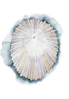 Limpet Seashell by Kirsten Carlson