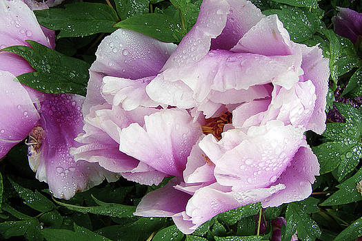 Limpid Peony by Betsy Zimmerli