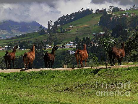 Line-Dancing Llamas At Ingapirca by Al Bourassa