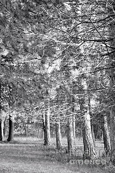 Line of Pine Trees by Kristi Beers-Mason