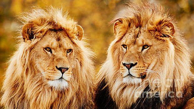 Lion brothers  by Nick  Biemans