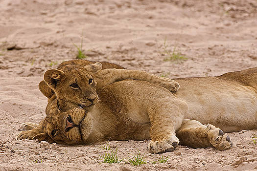 Lion cub hugs mother by Johan Elzenga