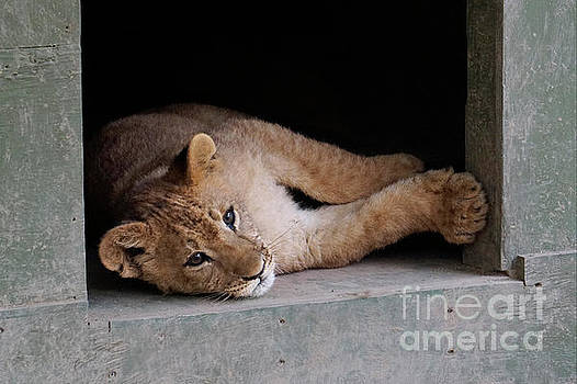 Lion Cub by Nina Prommer