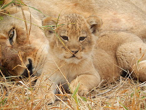 Lion Cub with mom watching by Patrick Murphy