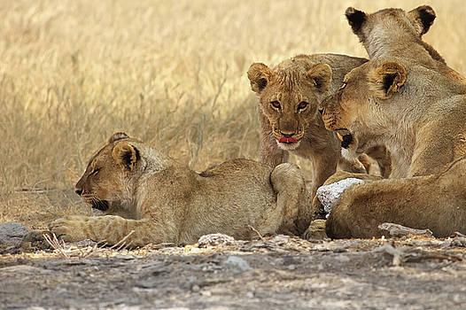 Lion cubs in Etosha National Park  Namibia by Martin Wackenhut