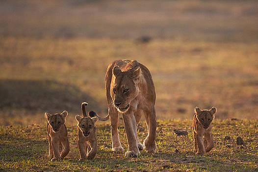 Lion family by Johan Elzenga