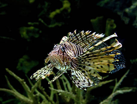 Janet Fikar - Lion Fish 1