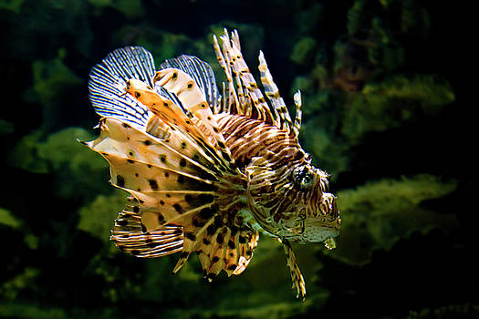 Janet Fikar - Lion Fish 2