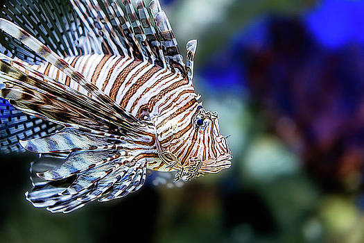 Janet Fikar - Lion Fish