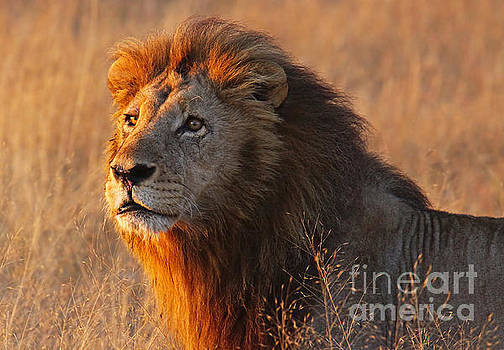 Lion in the morning light, Africa by Wibke W