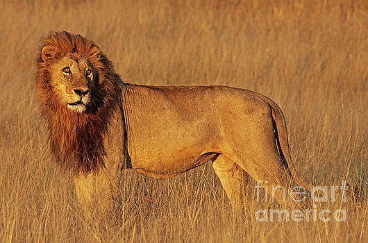 Lion in the morning light, Africa wildlife by Wibke W