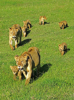 Dennis Cox WorldViews - Lion moms with cubs