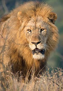 Lion Portrait by George Salter