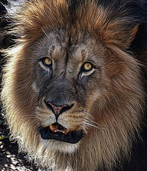 Lion Portrait OP by Ronda Ryan