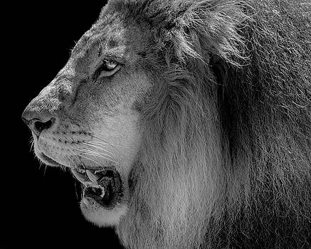 Lion Profile in BW by Tito Santiago