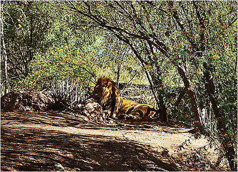 Lion Resting by Adele Moscaritolo