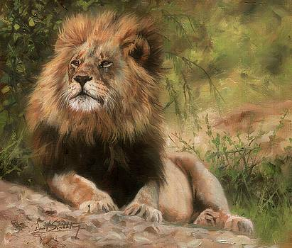 Lion resting by David Stribbling