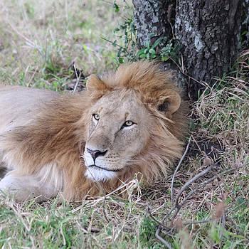 Mauverneen Blevins - Lion resting