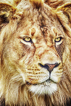 Lion-The King of the Jungle Large Canvas Art, Canvas Print, Large Art, Large Wall Decor, Home Decor by David Millenheft