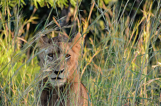 Lion warily watching by Gaelyn Olmsted