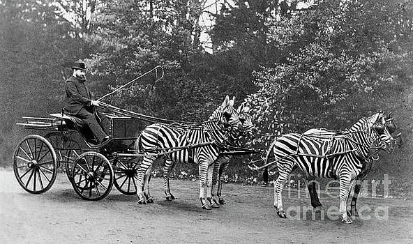 Lionel Rothschild, British zoologist by Science Photo Library