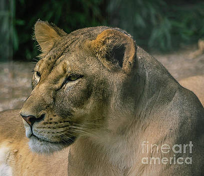 Lioness by Cathy Donohoue