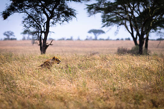 Lioness Hunting a Warthog. by Scott Presnell