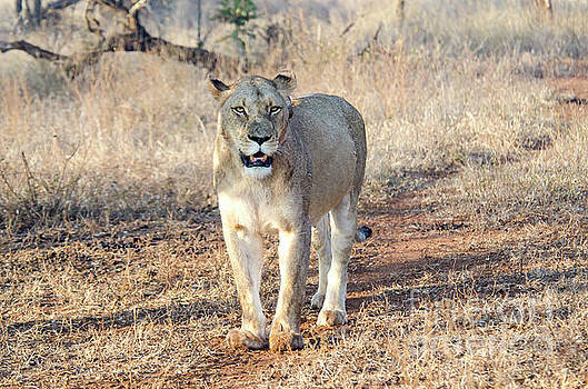 Lioness in Kruger by Pravine Chester