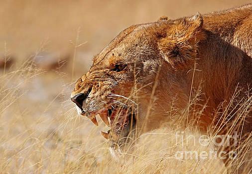 Lioness in Moremi Game Reserve, Botswana by Wibke W