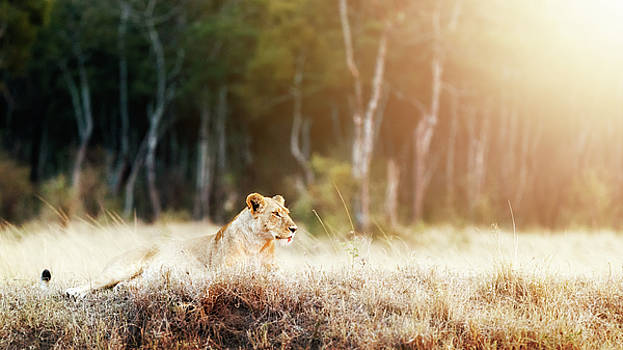 Lioness in Morning Sunlight After Breakfast by Susan Schmitz