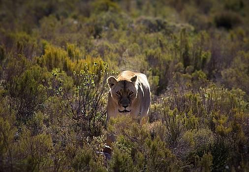 Lioness by Jennifer Ansier