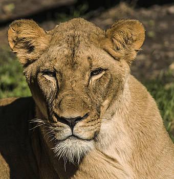Lioness by Jim Markiewicz