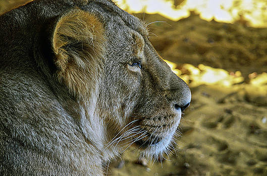 Spade Photo - Lioness Longing