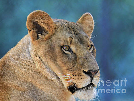 Lioness by Roger Becker