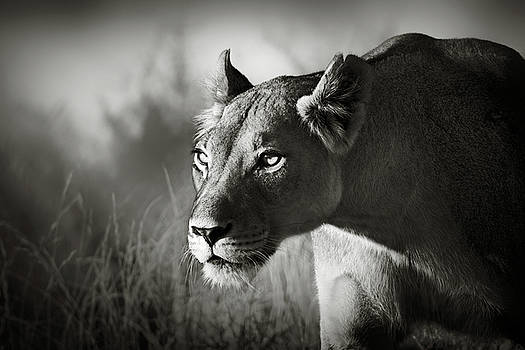 Lioness stalking by Johan Swanepoel