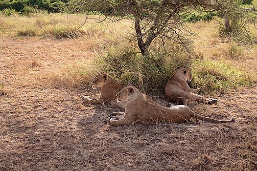 Lionesses Three by Mary Lee Dereske