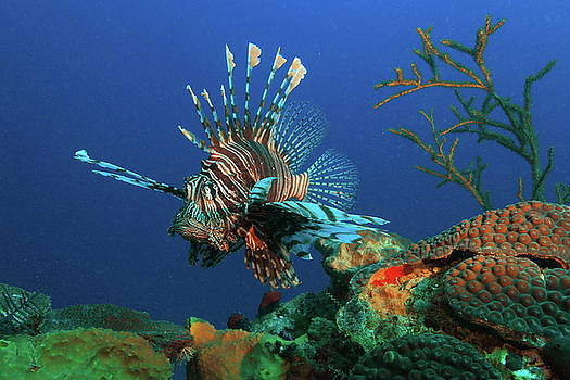 Lionfish and Reef by Roupen  Baker