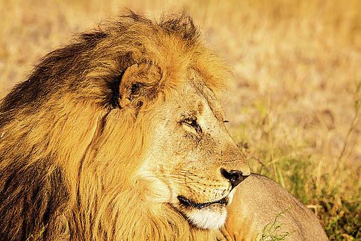 Lions Head by Matt Cohen