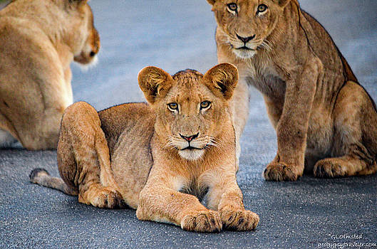Lions stare by Gaelyn Olmsted