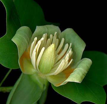 Marsha Tudor - Liriodendron Tulip